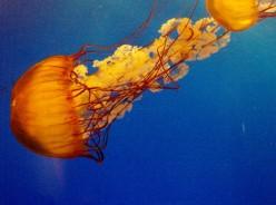 Jellyfish Transparent Disks Of Beach Life