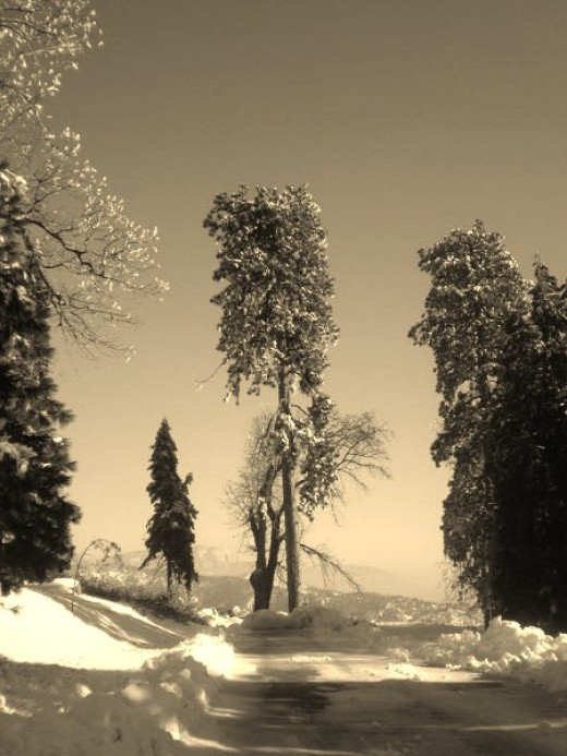 A magnificent tree in the San Bernardino Mountains in sepia tones.