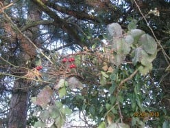 Hawthorn Berries.  December 2010. Copyright Tricia Mason