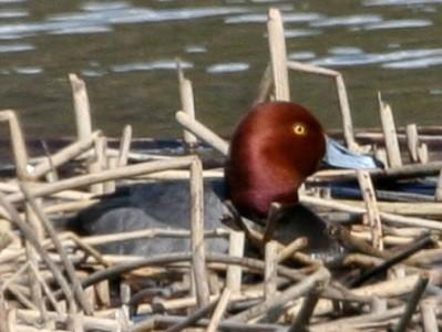 a redhead drake