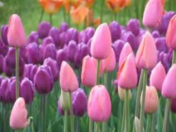 How To Plant Tulips For Sale Buy Tulips Wholesale Online Triumph Yellow