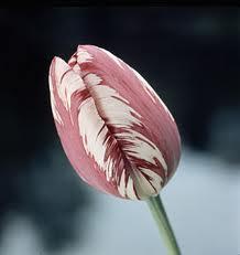 Rembrandt Tulip
