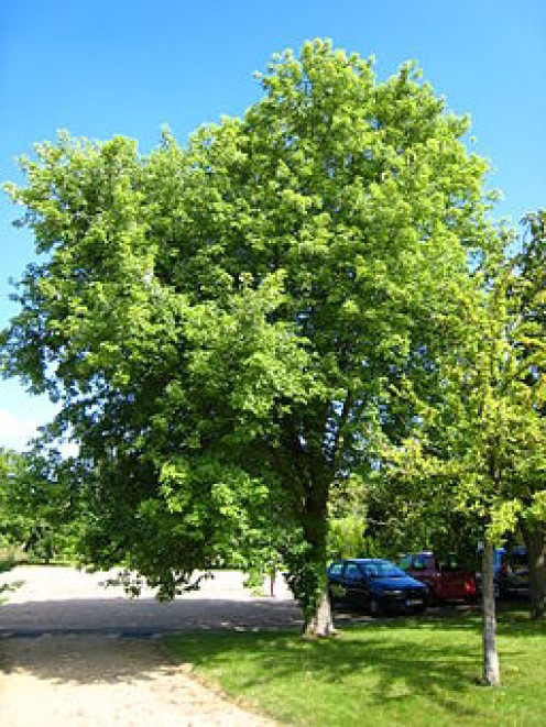 Silver Maple: Nuisance Tree or Great for Landscaping?