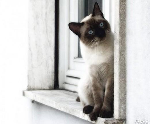 Siamese Cat Behavior