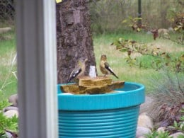 Evening Grossbeaks taking a bath in my plastic bird bath water feature.