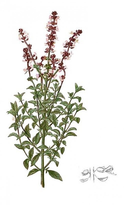 Basil with some of the blooms, artists rendition