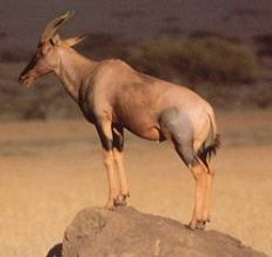 Different Kinds Of Antelopes