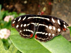 The Common Sailor Butterfly - Information and Characteristics
