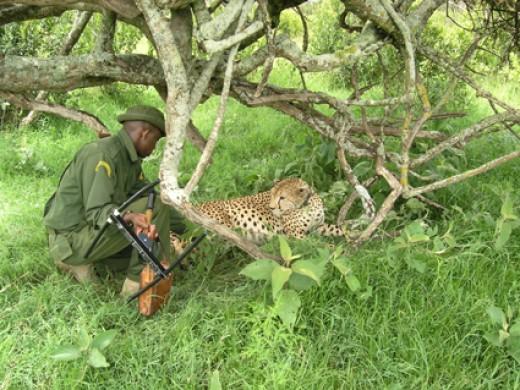 A ranger attending to a cheetah