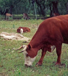 Cattle grazing in foreground with deer in background.