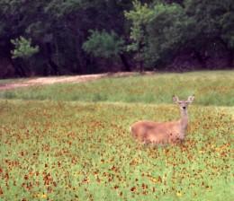 Deer in a field of Texas wildflowers