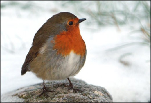 English Robin - with genuine British accent