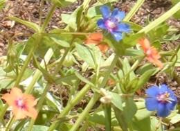 Red and blue Scarlet Pimpernel