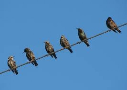 Starlings waiting to be fed.