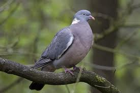 Wood pigeons would eat there as well.