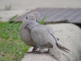 Collared doves like lovers at a picnic.