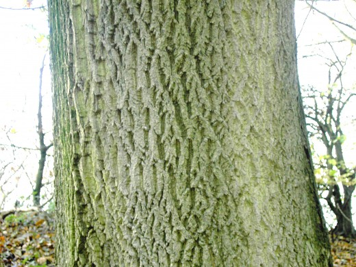 The fissured bark of the common ash.