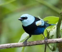 Blue-necked Tanager (Tangara cyanicollis)