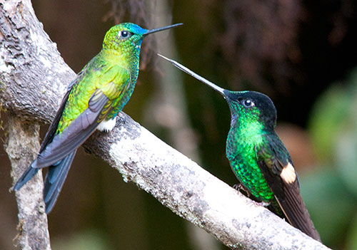 Sapphire-vented Puffleg and Buff-winged Starfrontlet