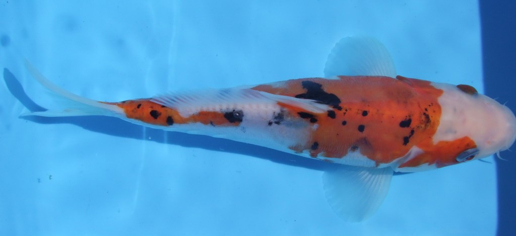 Koi fish keeping couple selection breeding for Koi reproduction