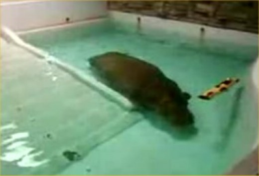 Deplorable captive conditions for any creature. This tiny pool is truly undersized for such a large and powerful exotic animal like the Hippo.
