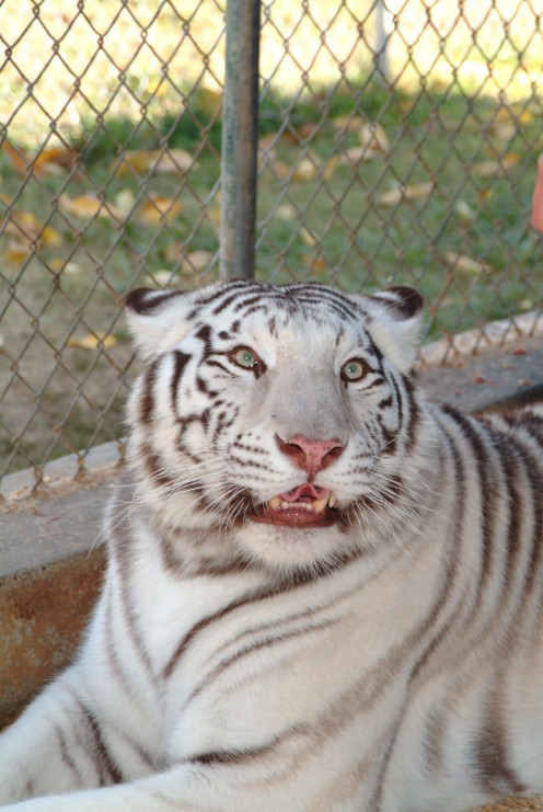 White Tiger - Isolation enclosure for protection due to an eye disorder.