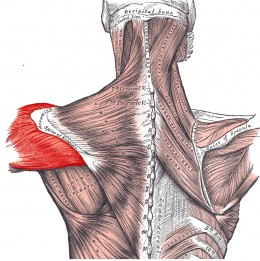 The Deltoid