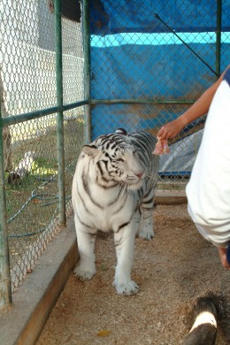 Inside the white tiger enclosure, we had the chore of  feeding this tiger up close and personal. She loves raw chicken breast.