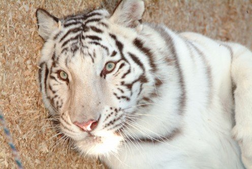 This white tiger gazed right into the lens as I snapped this picture. She was just laying around, getting ready to roll on to her back like a regular house cat!