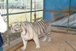 After a good roll on the deck, this beautiful white tiger nuzzles the fence to make sure her scent markings are up to date!