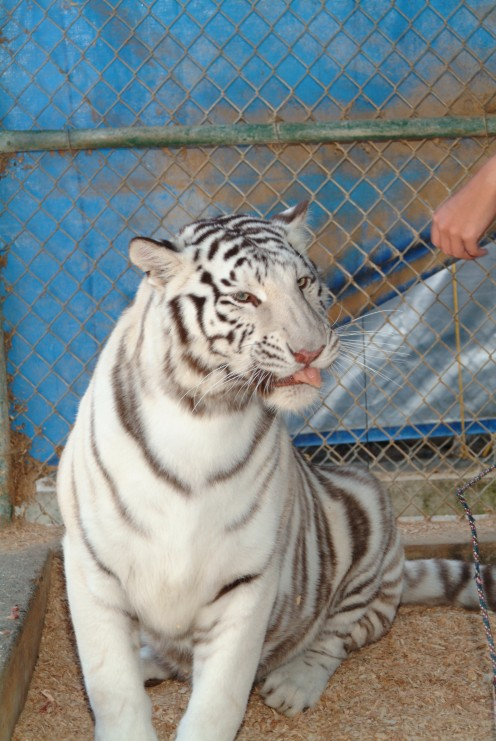 Hand feeding a white tiger in captivity is a real thrill!