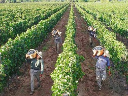 The soil and climate, and the growing conditions determine how a wine tastes and its terroir