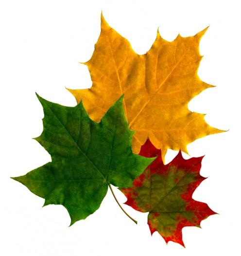 6 Common Maple Tree Problems