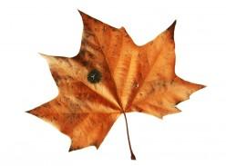 Maple leaf tar spot.  Photo by Lepas/Dreamstime.