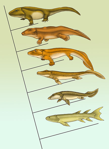 A cladogram of the evolution of tetrapods showing the best-known transitional fossils. From bottom to top: Eusthenopteron, Panderichthys, Tiktaalik, Acanthostega, Ichthyostega, Pederpes (artist: Maija Karala).