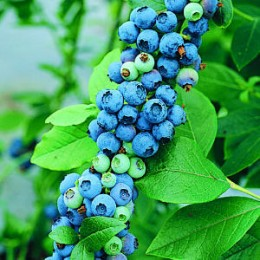 Yummy Wild Blueberries