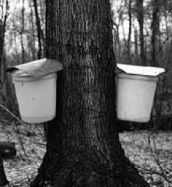 Wisconsin Maple