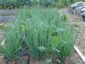 Onion and kale growing together.