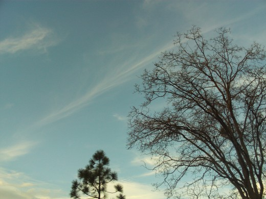 Picture of the sky with a pine tree and oak tree.