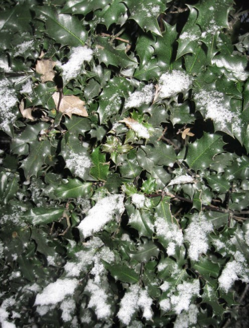 Holly in Winter. Copyright Tricia Mason. Dec. 2010