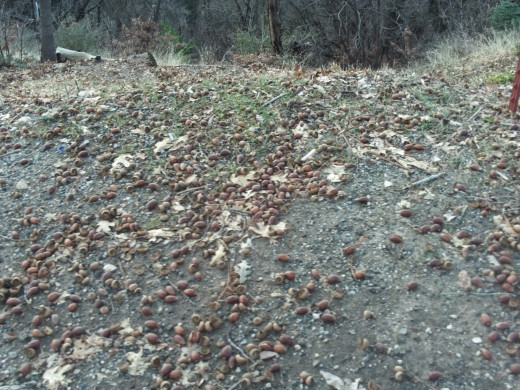 Acorns on the ground in December of 2010.