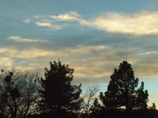 The silhouette of the pine and oak trees near sunset.