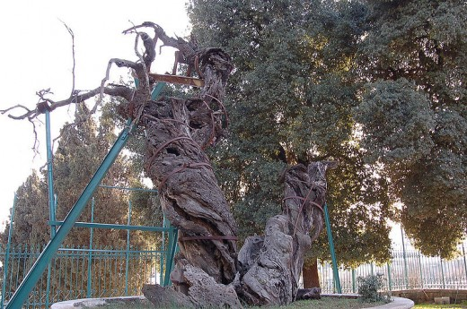 The Oak of Mamre (also Called the Oak of Sibta) at Hirbet es Sibte, Two kilometers southwest of Mamre [2], aussi Called The Oak of Abraham [3] Is an ancient tree Which, in tradition, Is Said The Place to mark WHERE Abraham was visited by 3 Angels.