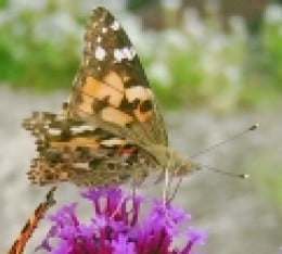 Painted Lady Photo by Steve Andrews