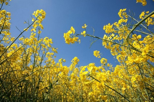 Rapeseed Brassica Flower (Source of Canola Oil)