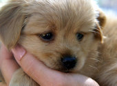 Tiny Teacup Yorkies come with a hefty pricetag.