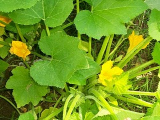 Getting more and more squash blossoms