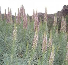 Tajinaste (Echium virescens)