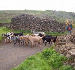 Goats in Teno Alto