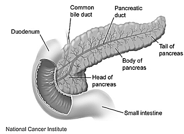 The pancreas is a long and narrow organ.